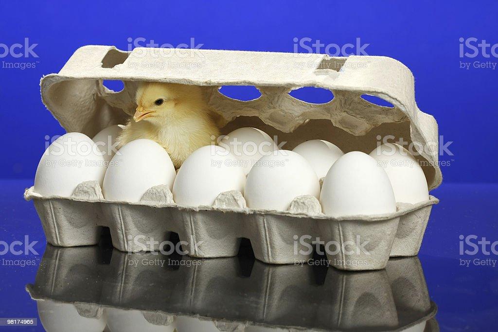 Small chicken and white eggs royalty-free stock photo