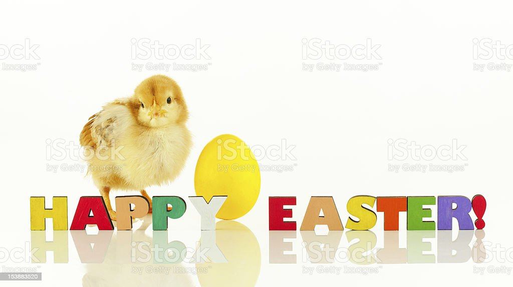 Small chicken with a yellow Easter egg royalty-free stock photo