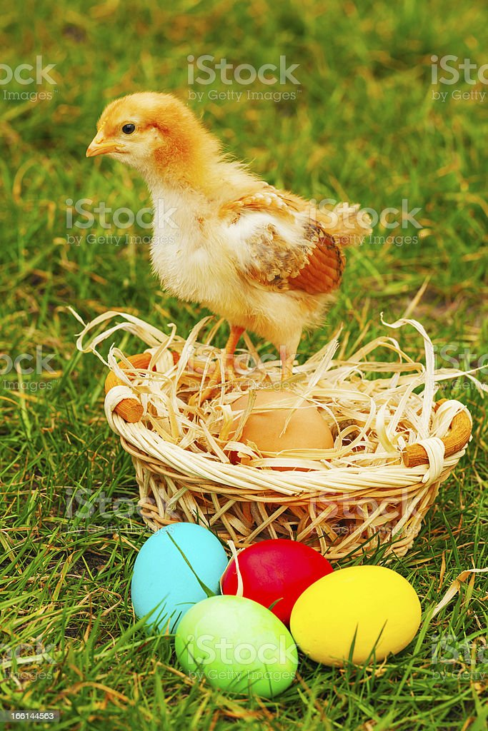 Small chicken with colorful Easter eggs royalty-free stock photo