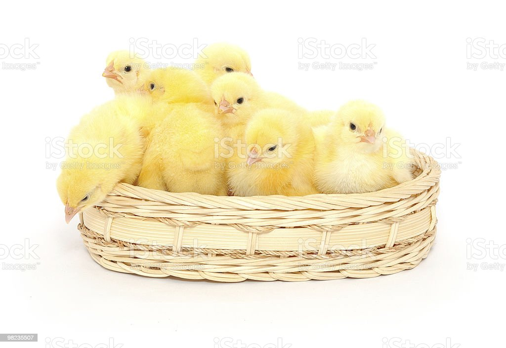 Small chickens in a basket royalty-free stock photo