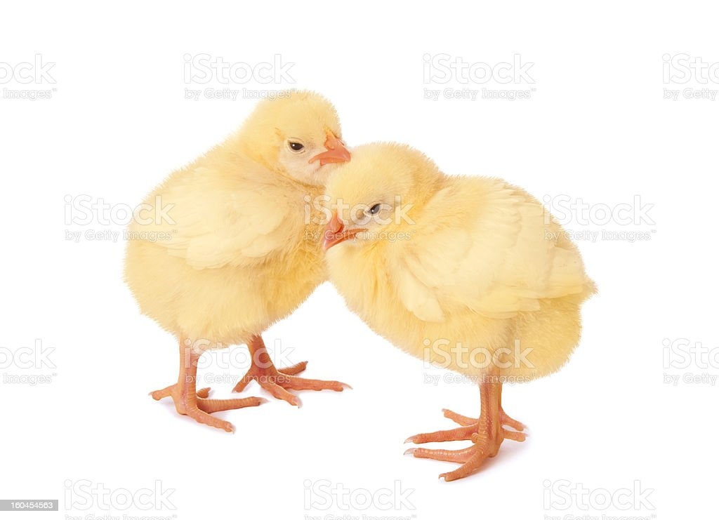 Small Chickens royalty-free stock photo