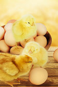 Small chicks and eggs.