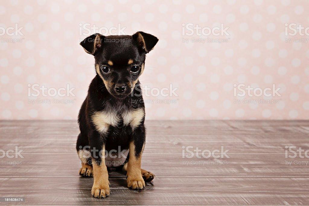 Small Chihauhau Puppy Dog royalty-free stock photo