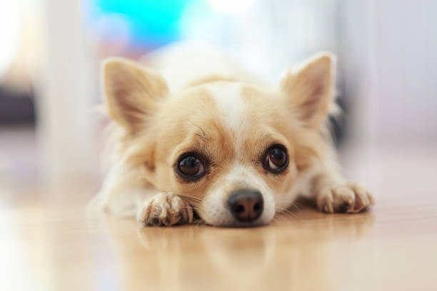 Small chihuahua dog with a white and beige color on the floor lonely picture id1169993408?b=1&k=6&m=1169993408&s=612x612&w=0&h=z9pidufxissdvcez w14fdei6y mjolfr9urloarctu=