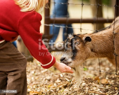 A billy goat eating from a girl's hand.