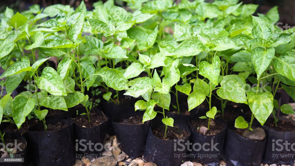 Small chili sapling tree in garden. Little green plant chili sapling agriculture concept. stock photo