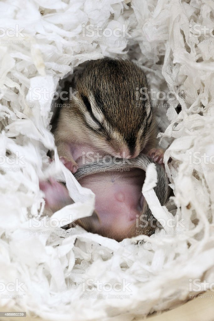 Small chipmunk stock photo