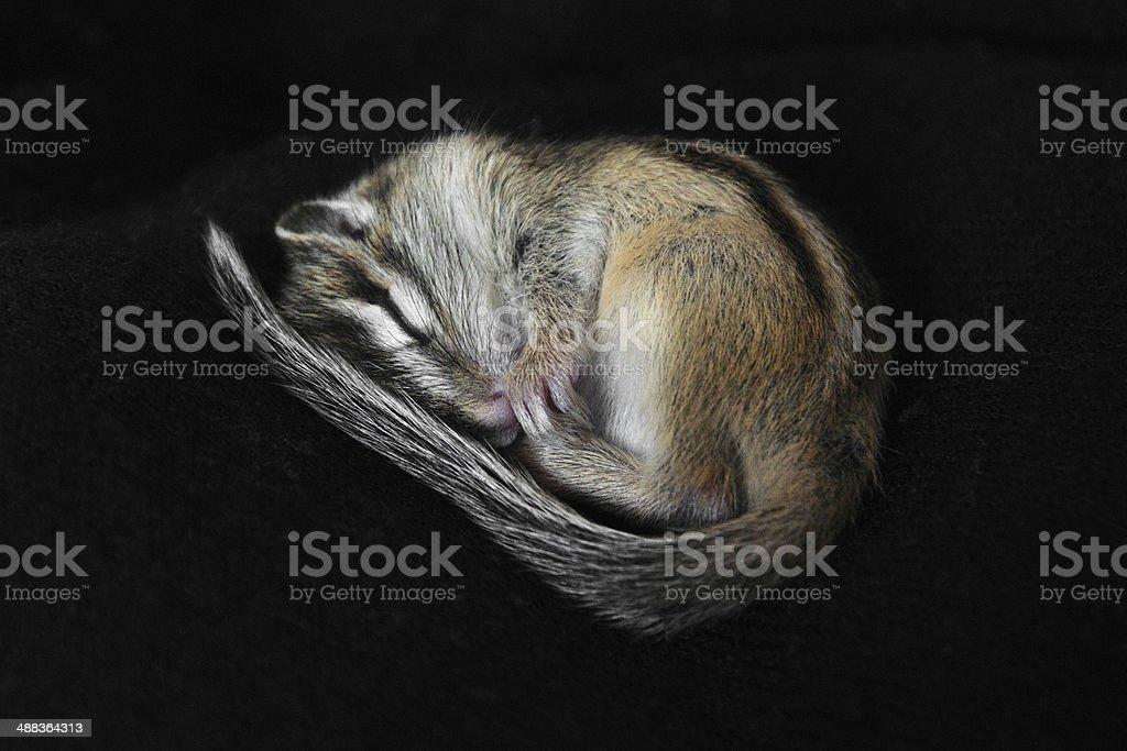 Small chipmunk Small chipmunk sleeping  Animal Stock Photo