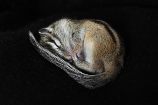 Small Chipmunk Stock Photo - Download Image Now