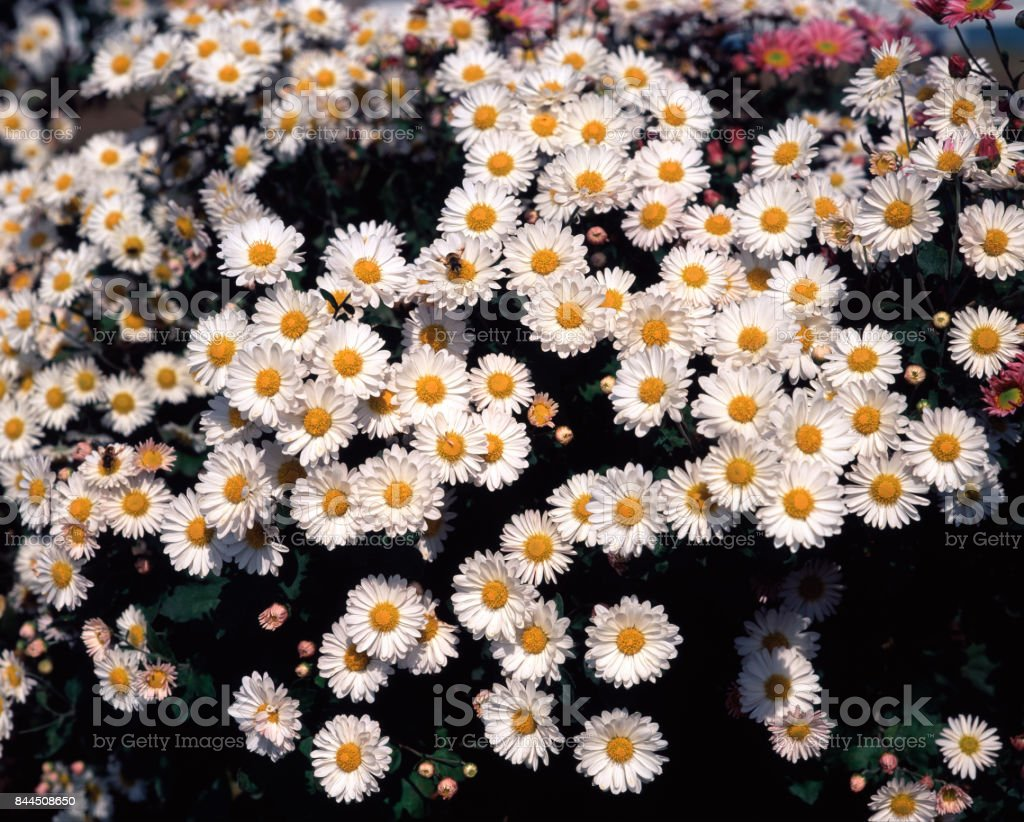 Small Chrysanthemum stock photo