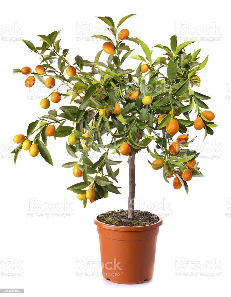 Beliebt Bevorzugt Kleine Citrus Baum In Topf Isoliert Auf Weiss Stockfoto und mehr #HU_65