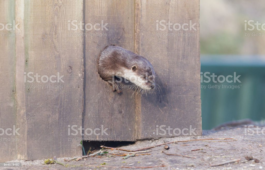 Small claw otter crawling though a hole in the wall stock photo