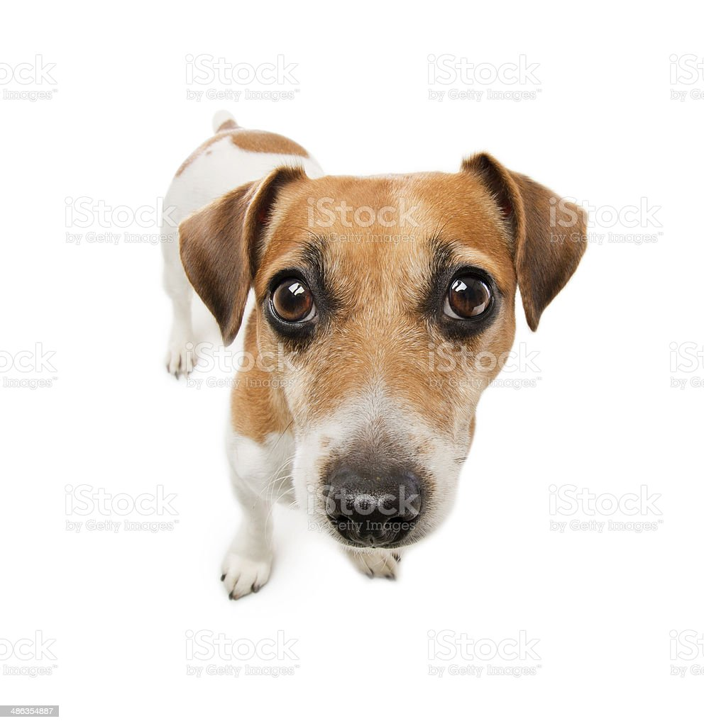Small clever Dog  Jack Russell terrier stock photo