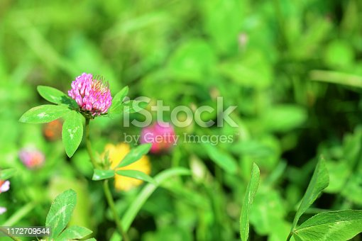 Small clover flower on a summer meadow close-up