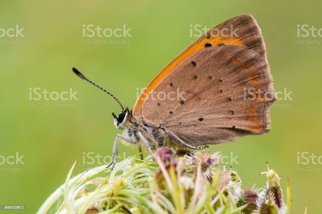 Small copper butterfly (Lycaena phlaeas) at rest in profile stock photo