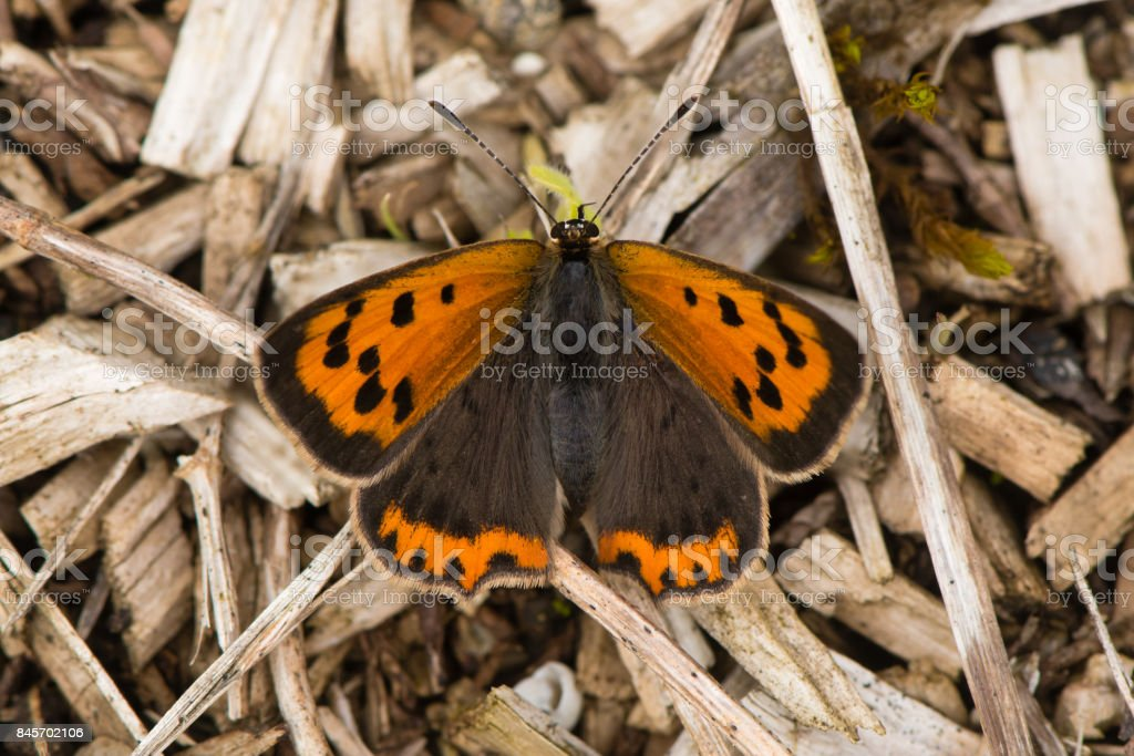 Small copper butterfly (Lycaena phlaeas) dorsal view stock photo