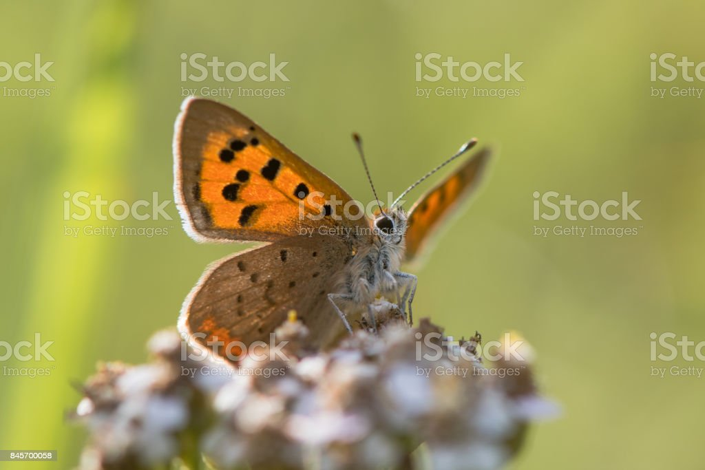 Small copper butterfly (Lycaena phlaeas) from below stock photo