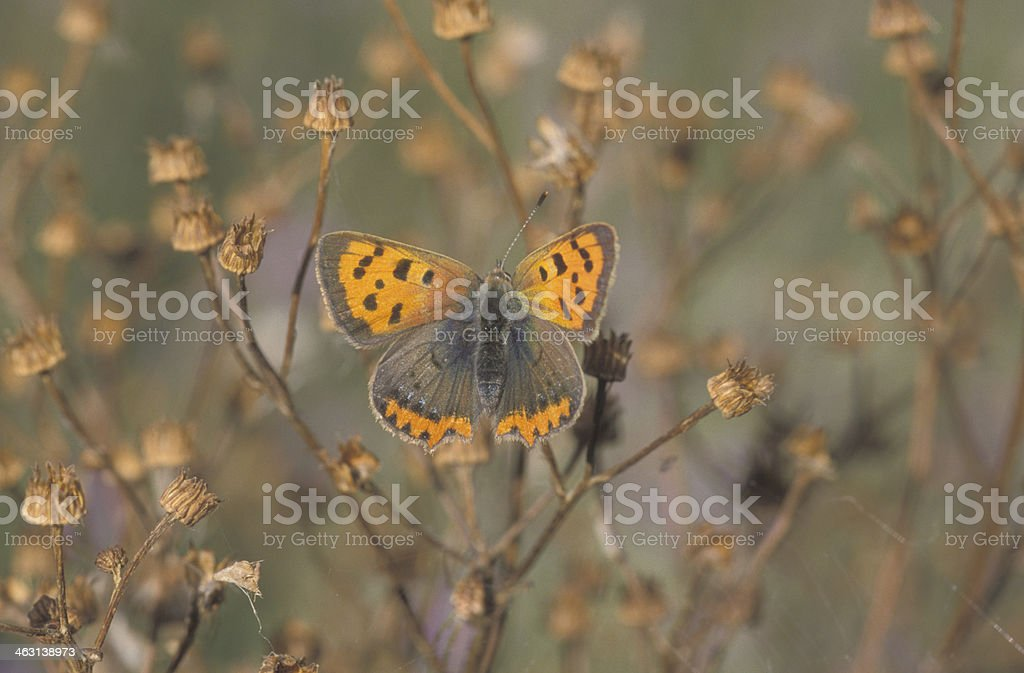 Small copper butterfly, Lycaena phlaeas royalty-free stock photo