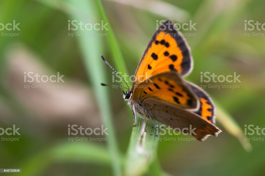 Small copper butterfly (Lycaena phlaeas) perched on grass stock photo