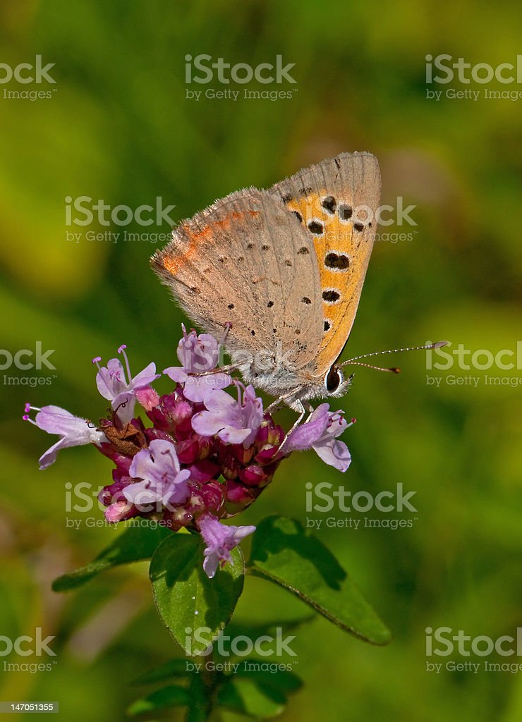 Small Copper Butterfly stock photo