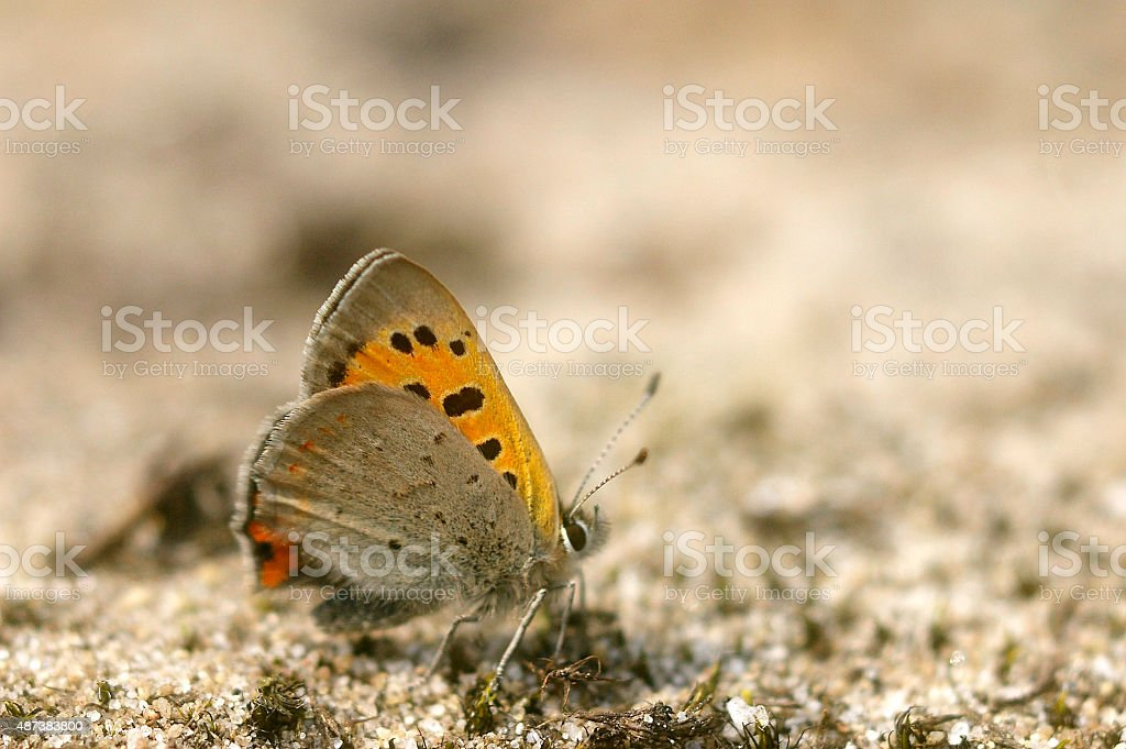 Small Copper Butterfly (Lycaena phlaeas) stock photo