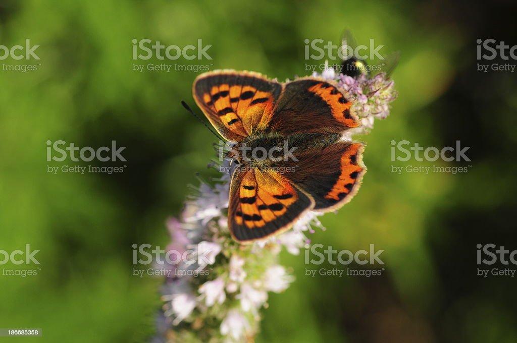 Small copper butterfly, U.K. stock photo
