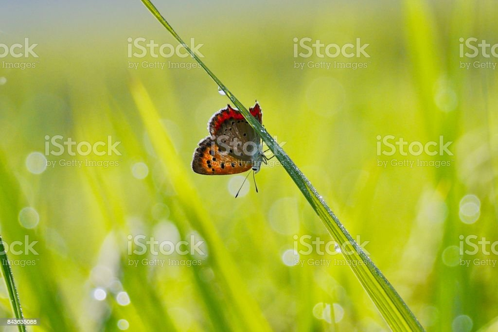 Small copper on rice leaf stock photo