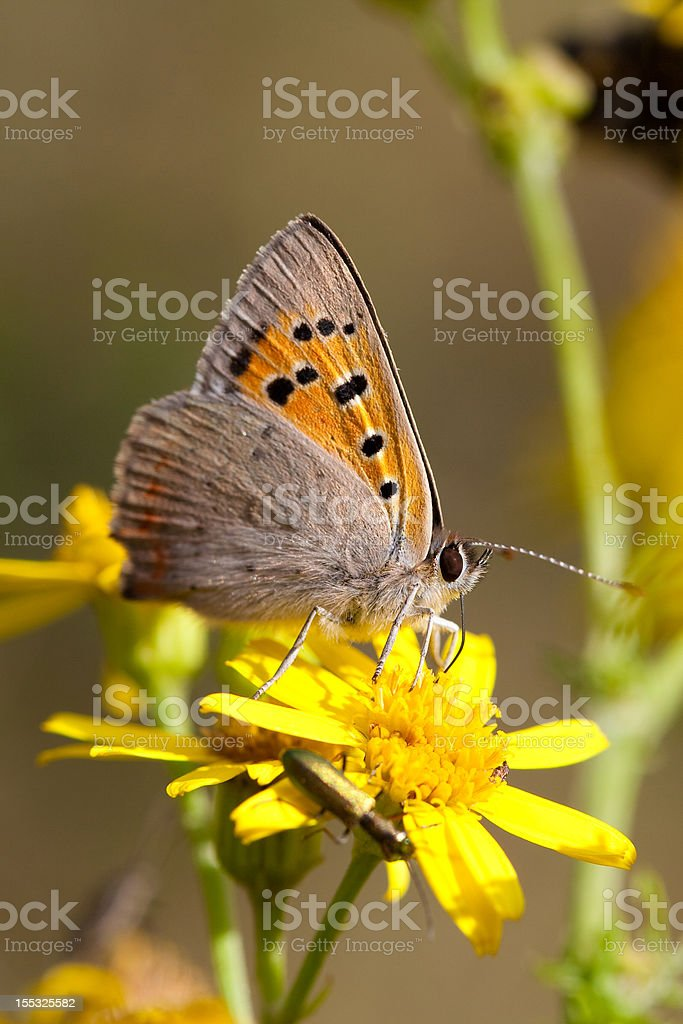 Small Copper royalty-free stock photo