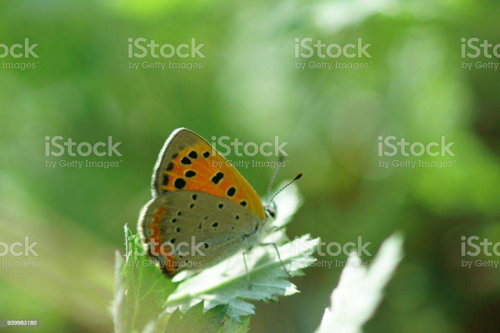 Small Copper stock photo