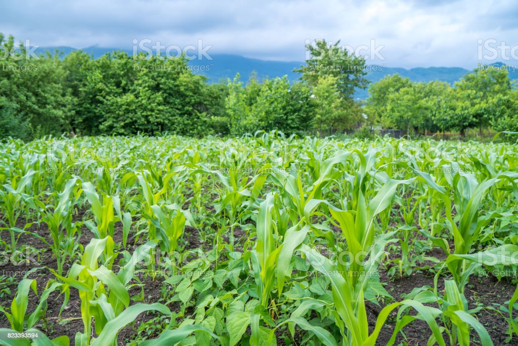 Small corn field agriculture. Green nature. Rural farm land in summer stock photo