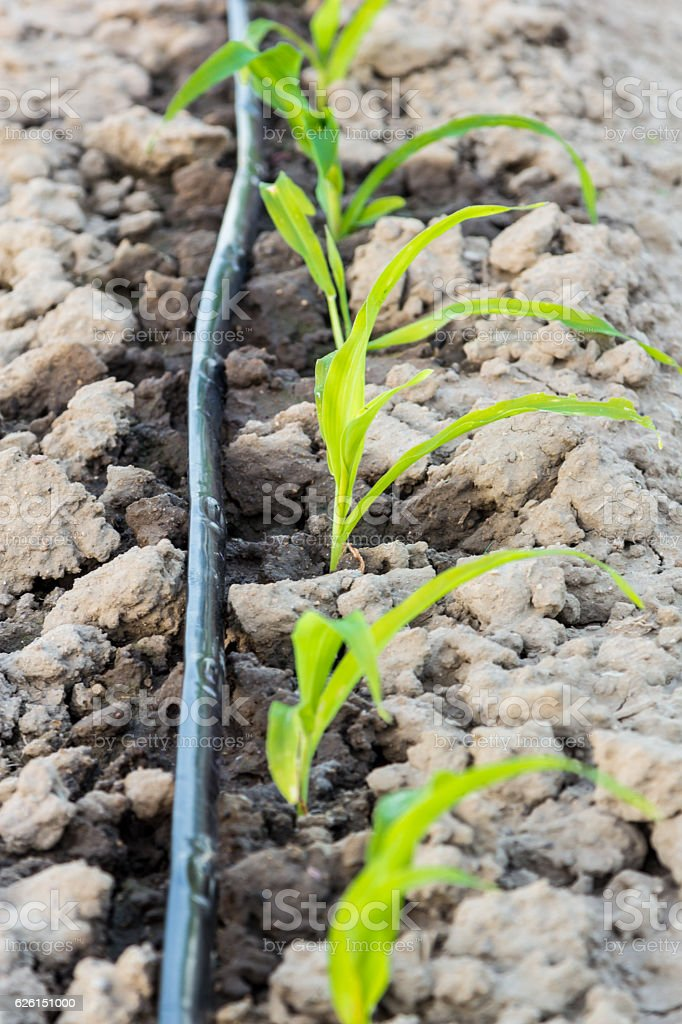 small corn field with drip irrigation in farm stock photo