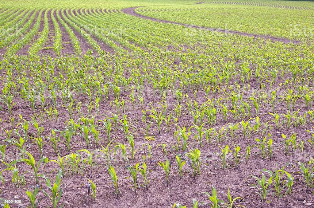 Small corn plants royalty-free stock photo