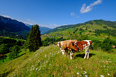Small cows herd grazing at the Alpine meadow in Switzerland