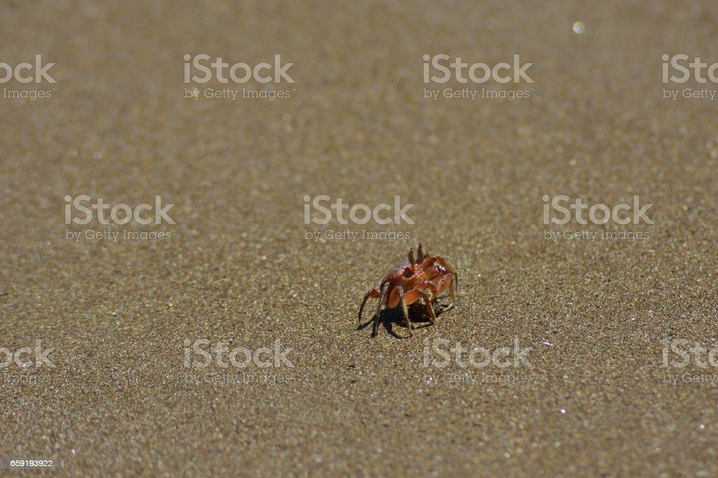 Small crab on the beach at Isla de la Plata in Ecuador stock photo