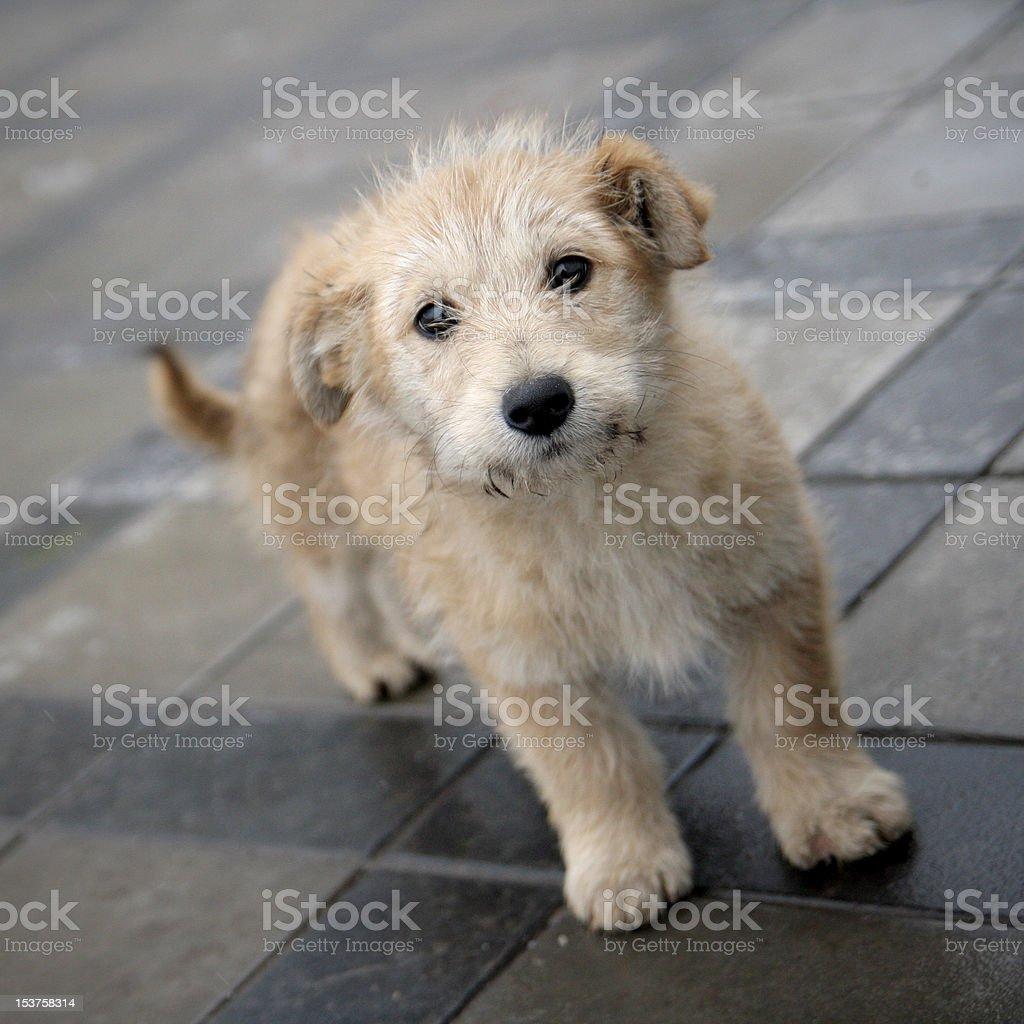 Small cream puppy stock photo