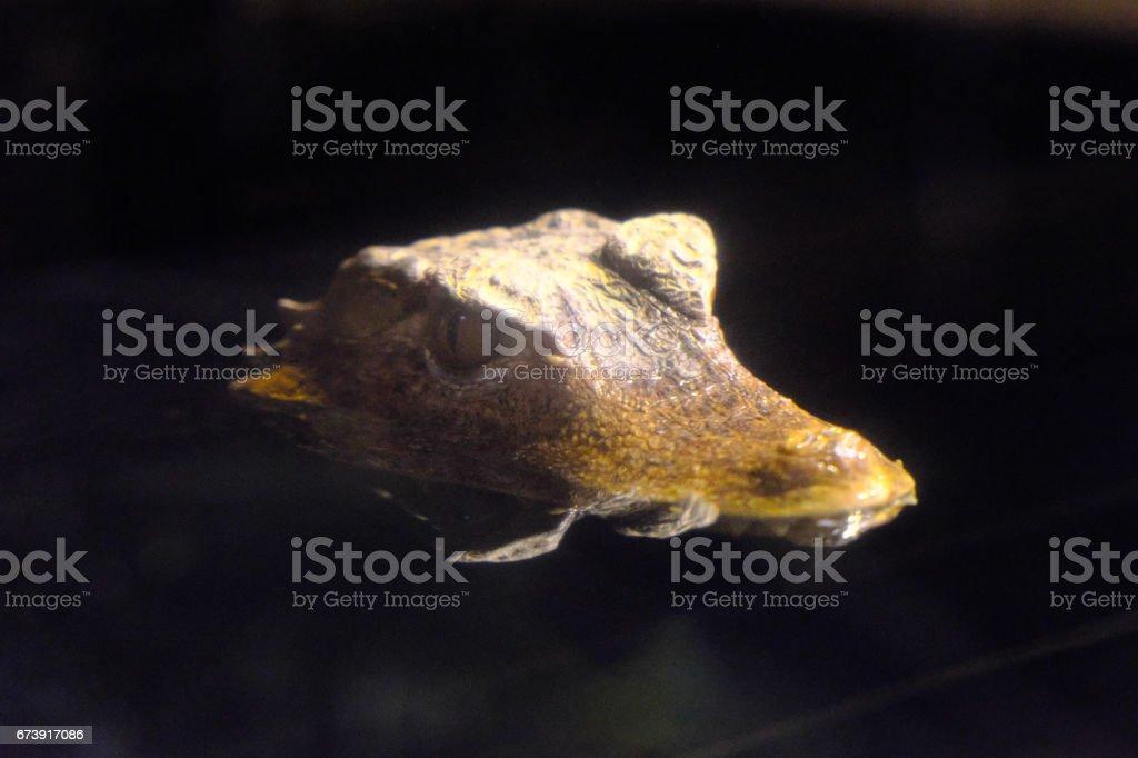 Small crocodile photo libre de droits