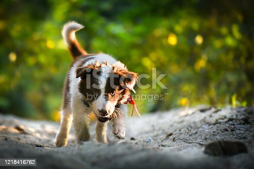 Beautiful adult brown and white Border Collie standing in forest.