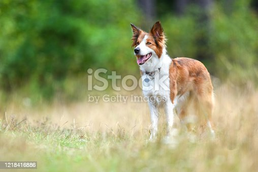 Border collie. Beautiful and most clever dogs best for agility or dancing dog contest. Two of them are standing near big tree deep in forest.