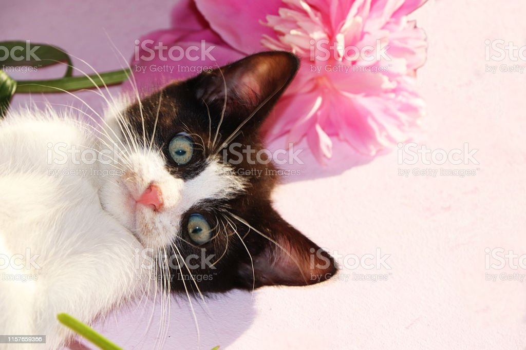 A small curious kitten on a sunny pink background. A kitten on the...