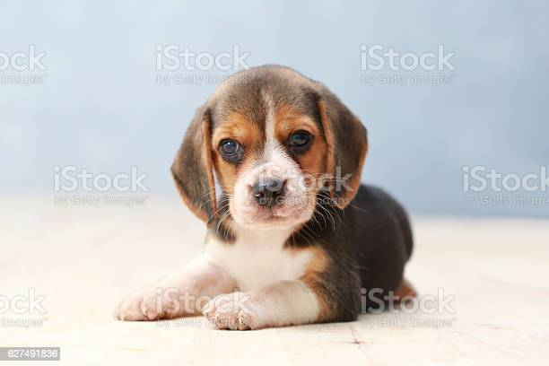 Small cute beagle puppy dog looking up picture id627491836?b=1&k=6&m=627491836&s=612x612&h=fpd3hygs7vbrqim968ntphcrezlhycgigmp40qawhey=