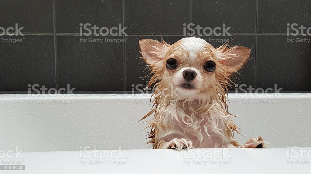 Small cute brown chihuahua dog waiting in the tub. stock photo