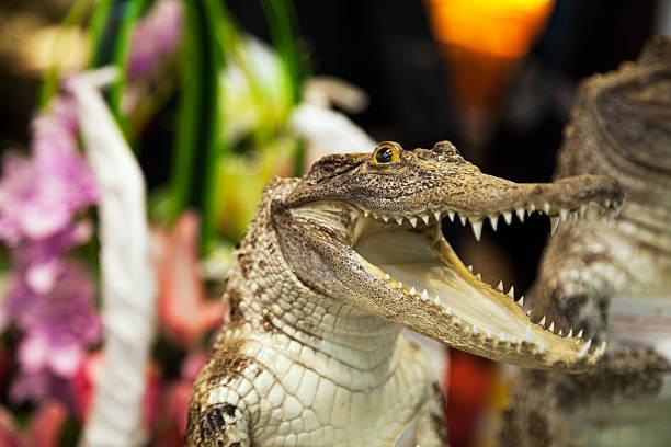 small cute crocodile laughing with open mouth - zum totlachen stock-fotos und bilder