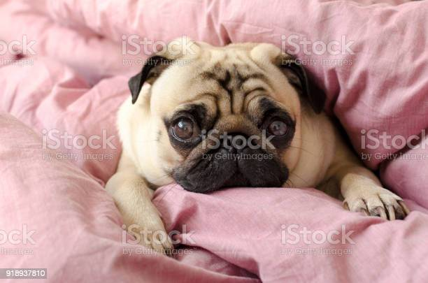 Small cute dog breed pug sleeping in masters bed picture id918937810?b=1&k=6&m=918937810&s=612x612&h=xtnxuy6r8yf1lwt bst4ta3vx3s8ib k kpzkvdxisa=