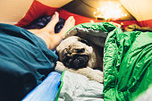 Small beautiful dog - pug breed have a cozy night sleeping in the red illuminated tent with a man in the mountains of Switzerland