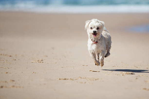 Small cute dog jumping on a sandy beach picture id152537097?b=1&k=6&m=152537097&s=612x612&w=0&h=dhup8ammbeltip8mqcijniwvmpa3ebngzgyud 5vv1y=