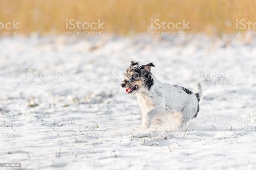 Small Cute Dog Running In The Snow In Winter Tricolor Jack Russell