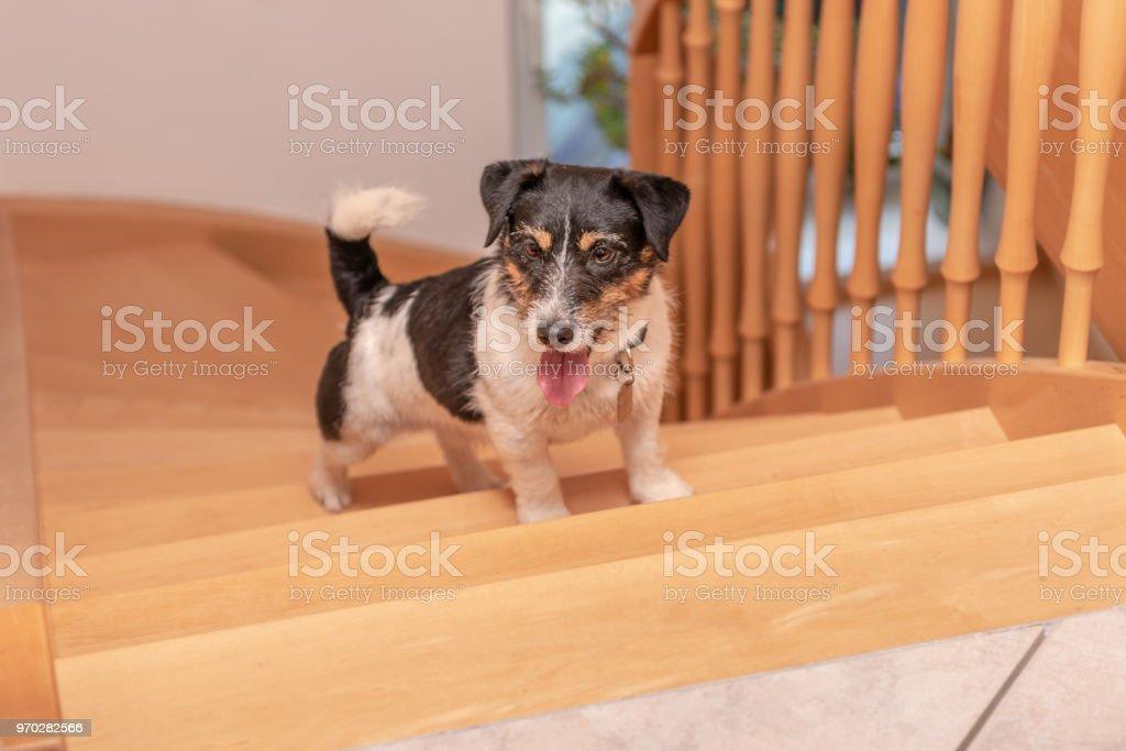 kleine süße Hund läuft aus einer Holztreppe - Jack Russell Terrier männlichen 3 Jahre alt – Foto