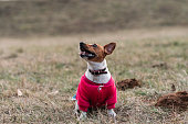 istock Small cute Jack Russell Terrier sitting 1200965460