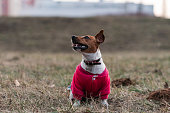 istock Small cute Jack Russell Terrier sitting 1200966130