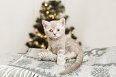 Small cute kitten is sitting on the plaid.Christmas tree background.Copy space.